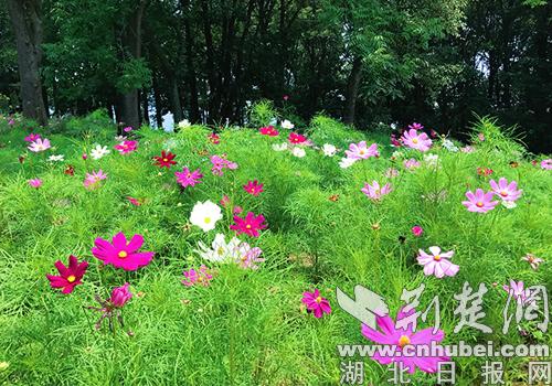 记者在荆门漳河风景区核心景点湖心岛(观音岛 常青岛)看到,片片花海