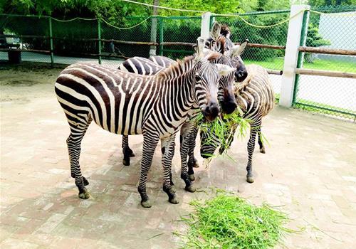 襄阳市动物园引进四匹斑马
